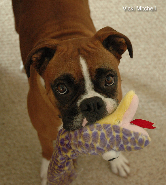 boxer-dog-lets-play